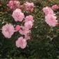 Parterre de fleurs roses